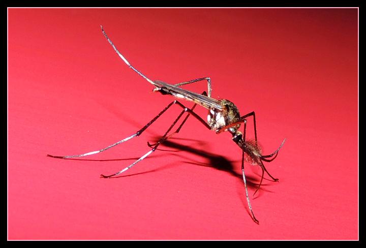 malaria, gambusia, transmisión malaria, mosquito Anopheles.