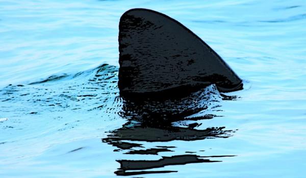 shark extinction shark finning essay