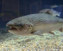NASF, salmón atlántico, pesca salmón, salmon españa