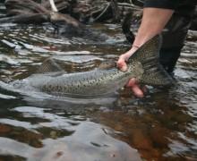 pesca sin muerte, catch and release, moratlidad truchas, estudios pesca sin muerte
