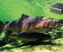 salmón atlántico, centro ictiológico de arredondo, estadisticas salmon, pesvcar salmon