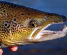 problemas salmon españa, presas para el salmon, sobrepesca salmón