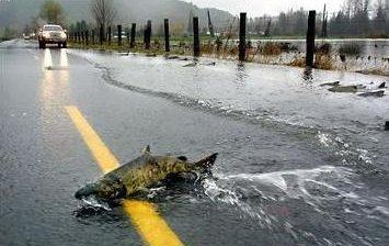 salmones cruzando carretera, salmón carretera, vídeo, vídeos, YouTube, reting video, Skokomish, Washington, video rented, río, salvajes, cruza carreteras