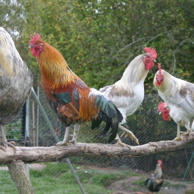 gallos de León, origen gallos de León, plumas pesca, coq de León, galllo indio, gallo pardo