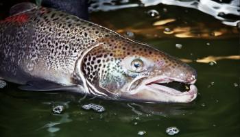 salmón, españa. reproducción, enfermedad, saprolegnia, fuga, macho, salmo salar, pesca