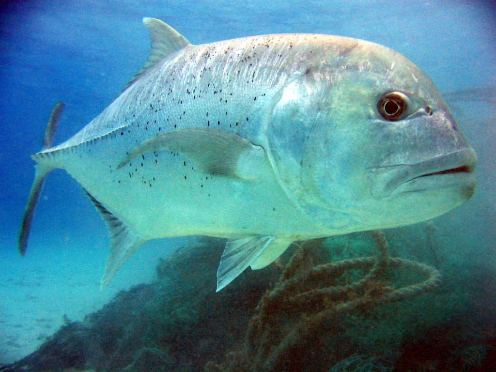 giant trevally, jigging, pesca