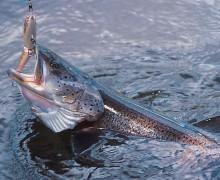 cómo pescar el hucho,mejores señuelos para el hucho, coto Villagonzalo II, Pro Hucho, hucho Salamanca, cuándo pescar el hucho, mejor época pescar hucho, Río Tormes