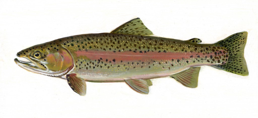 Oncorhynchus mykiss, trucha arcoiris, España, pesca