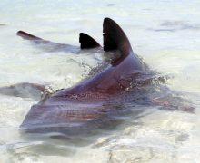 tiburón come macabí, bonefish, video