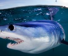 Tiburón mako desde paddle board, video