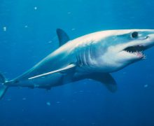 mako shark, kayak, fishing