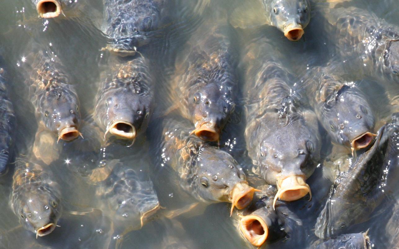 acuicultura, piscicultura, granjas de pescado, sobrepesca, peligros, harinas de pescado, FAO, informe, carpas