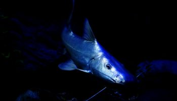 Brachyplatystoma rousseauxii , bagre dorado, peces, pesca, mayor migración en agua dulce, estudio, revista Nature, noticias de pesca