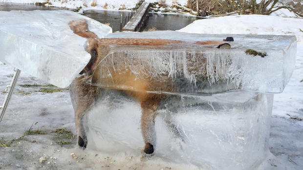 zorro congelado en hielo, animal congelado, Danubio