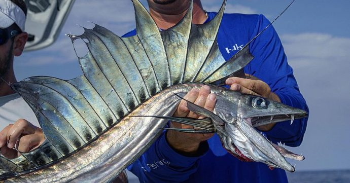 lanzón, dragón del mar, peces extraños, noticias de pesca, Alepisaurus, lancetfish