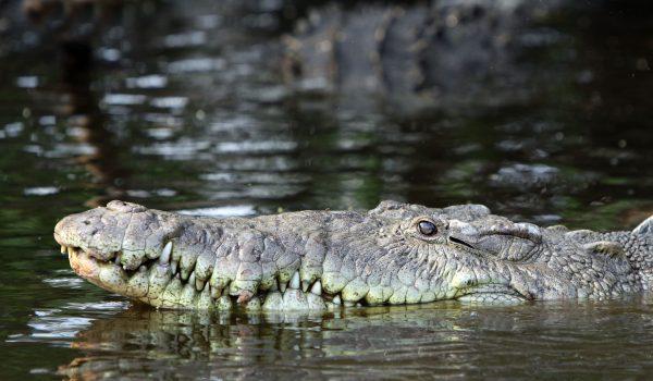 Crocodylus acutus, cocdrilo ataca tarpó, Florida, vídeo YouTube, pesca, canal