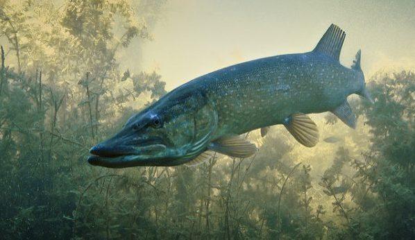 lucio, peces introducidos en España, especies exóticas, pesca, introducciones