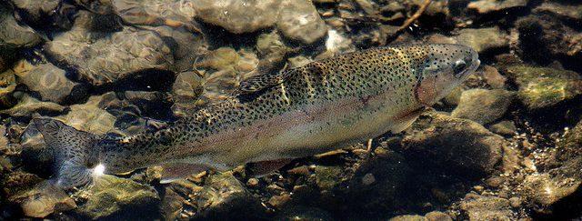 trucha arcoiris, especies introducidas, peces introducidos, especies exóticas en España, pesca
