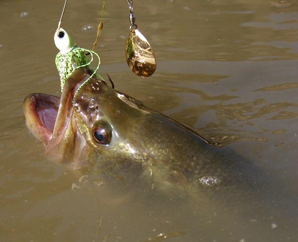peces introducidos en España, especies exóticas, black bass, pesca, bass