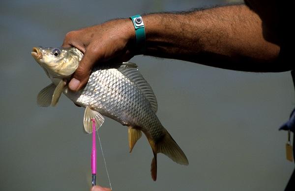 carpa, peces introducidos, especies exóticas, pesca, concursos de pesca