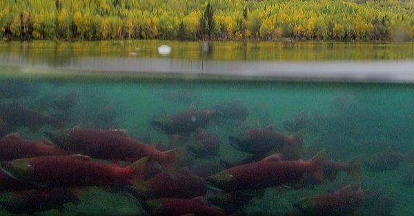 salmon migration in Alaska, Alaska Salmon Program video, sockeye salmon, salmon with drone, Jason Ching,