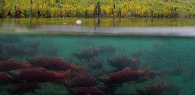 salmon migration in Alaska, Alaska Salmon Program video, sockeye salmon, salmon with drone, Jason Ching,