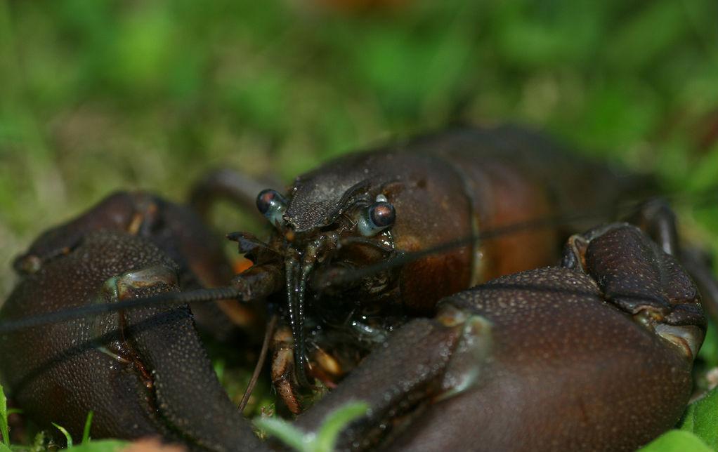 cangrejo señal, Pacifastacus leniusculus