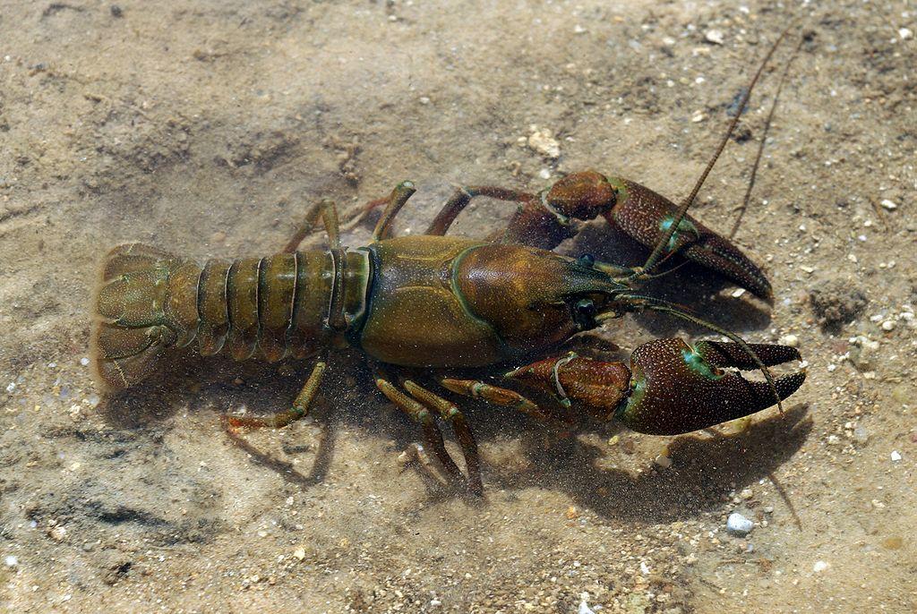 Pacifastacus leniusculus, cangrejo señal, diferencias, morfología, introducción, pesca, España, pinzas