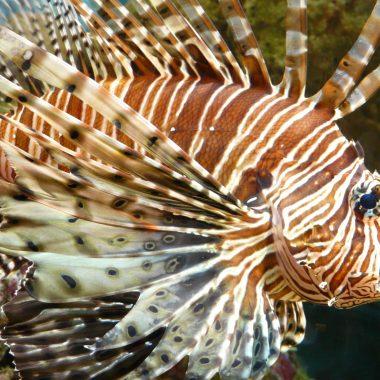 Pez León, pesca, Caribe, invasión