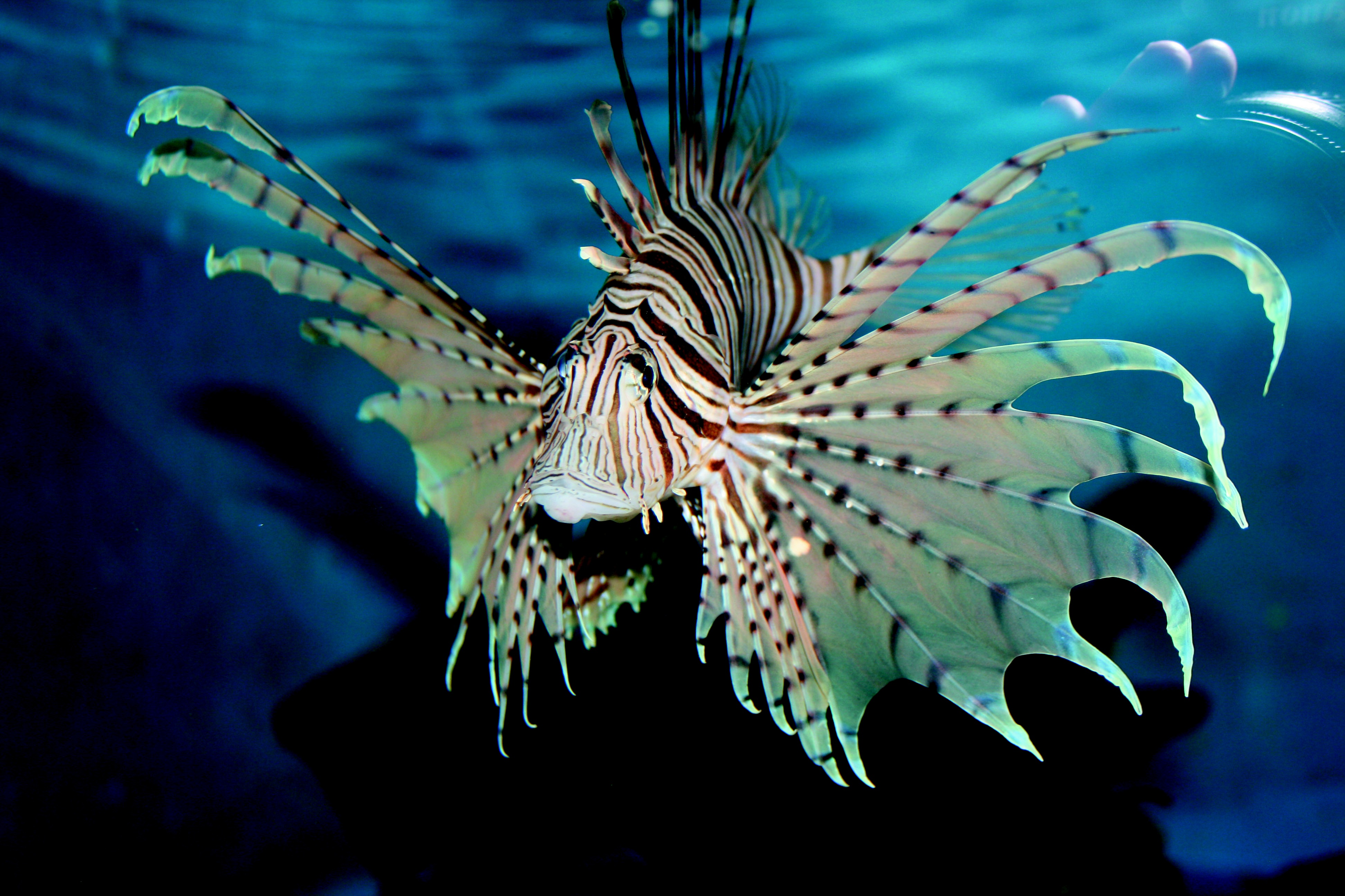 Pterois Volitans, Pez León, acuario, veneno, mar Caibe, expansión, biología