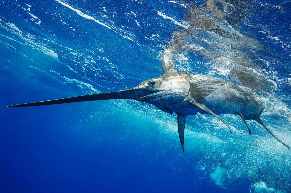 Espada de costado, fotografía de Kevin Dodge, fotógrafo de pesca