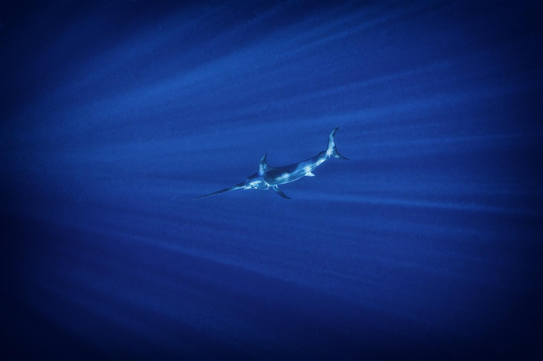 Foto de pesca de pez vela, Kevin Dodge