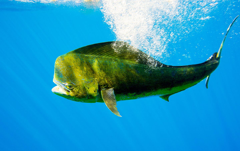 Gran dorado, lampuga, foto de Kevin Dodge, subacuática, pesca