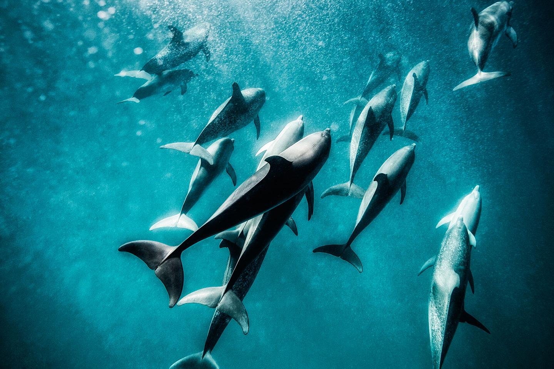 Marsopas bajo el agua, delfines, foto subacuática, Kevin Dodge