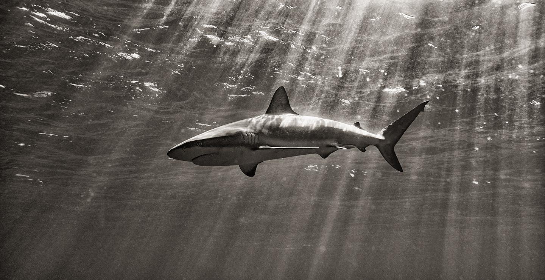 Tiburón bajo el agua, fotografía subacuática, Kevin Dodge