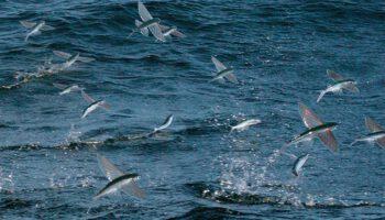 peces voladores, video BBC, lampuga, dorado, mahi mahi, gaviota, pesca, underwater